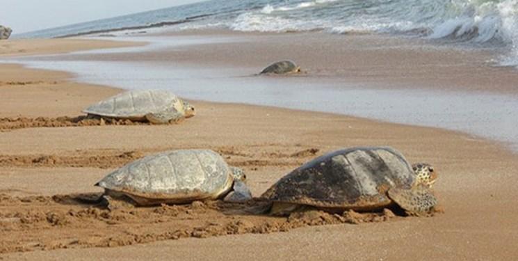 جزئیات برنامه اقدام ملی حفاظت از گونه های در حال انقراض لاک پشت های دریایی