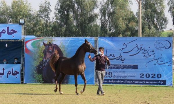 خبرنگاران مسابقات قهرمانی کشوری زیبایی اسب در گتوند شروع شد