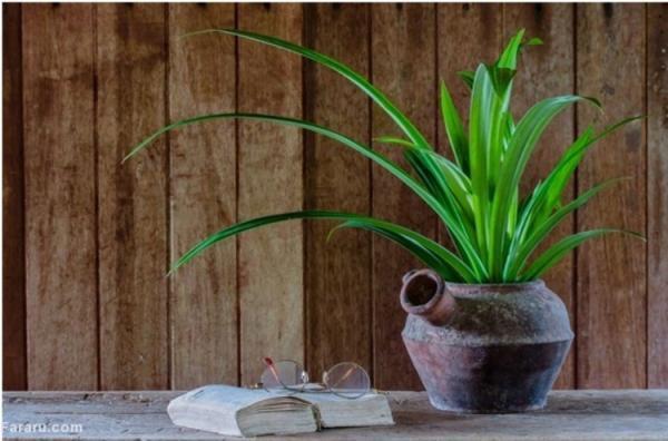 پاندانوس، از گیاه آپارتمانی مقاوم در ایران تا درختی پرکاربرد در استرالیا و هندوستان